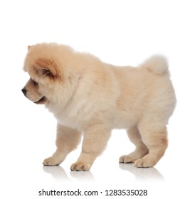 side view of cute chow chow standing onw htie background and looking down