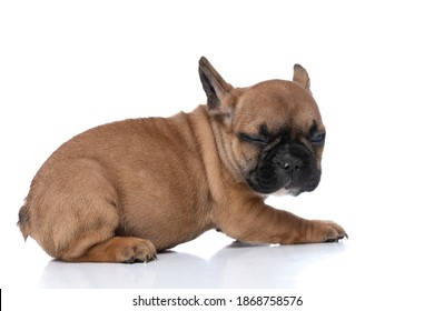 side view of a cute french bulldog dog waking up from a nap against white background