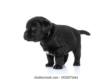 side view of cute little labrador retriever puppy looking to side and standing isolated on white background in studio