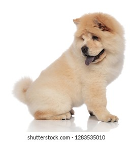 side view of cute panting chow chow looking back while sitting on white background