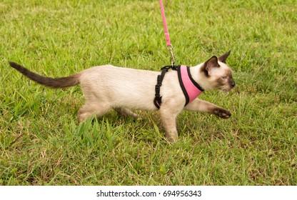 Side view of a cute Siamese kitten wearing a harness, walking in grass on leash