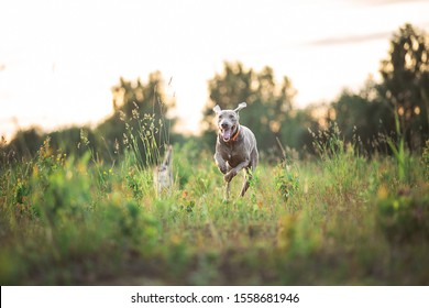 Side view of cute young purebred gray Hungarian Vizsla puppy with docked tail and collar running on field in sunset. Blurred green trees and grass background