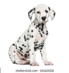 Side view of a Dalmatian puppy sitting, looking at the camera, isolated on white