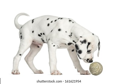 Side view of a Dalmatian puppy sniffing a tennis ball, isolated on white