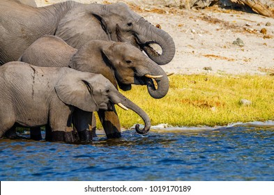 Side view of different sized African Bush Elephants standing in water on the edge of the Chobe River using their trunks to squirt fresh running water into their mouths. Copy space. Bokeh background.