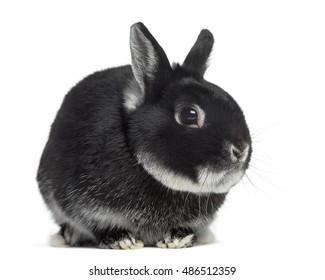 Side view of a Dwarf rabbit isolated on white