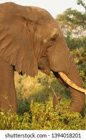 Side view of an elephant walking and grazing