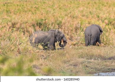 Side view of elephants feeding