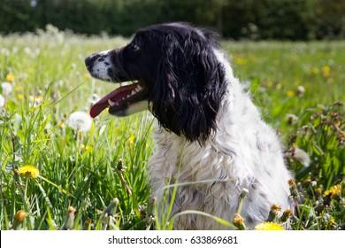 Side view of English gun dog sitting alert in meadow.