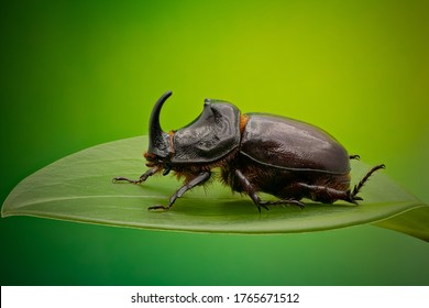 Side view of European Rhinoceros Beetle. Oryctes Nasicornis on a green leaf and flower.