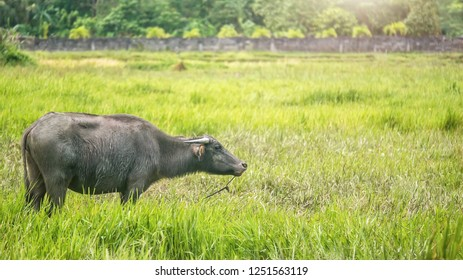Side view of a female carabao (Bubalus bubalis), a water buffalo species indigenous to the Philippines, standing in a bright green former rice paddy on Mindoro Island. This rice field is fallow now.