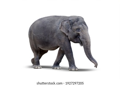 Side view of female elephant standing in the studio. Isolated on white background