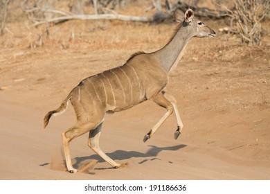 Side view of female kudu antelope crossing track