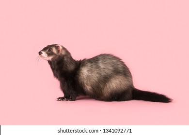Side view of a ferret on a pink background