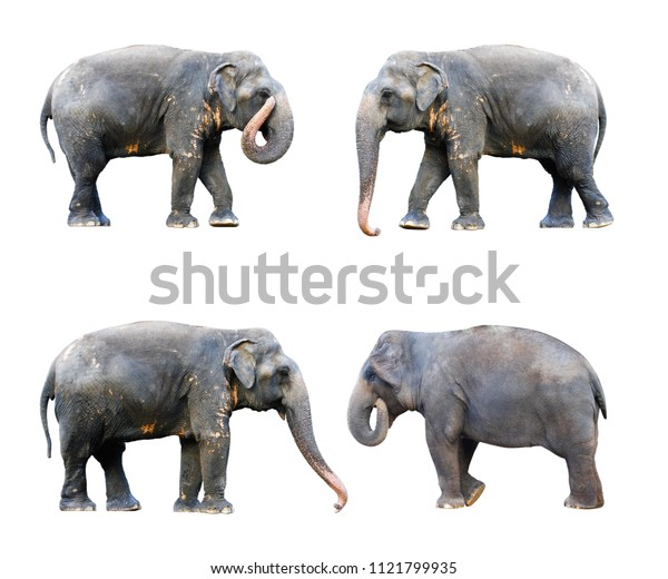 side view of four stance thai elephant on white background concept for animals ,pets, and Cunning Pets , ingenuity.with clipping path