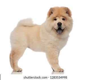 side view of furry chow chow standing with blue tongue exposed on white background