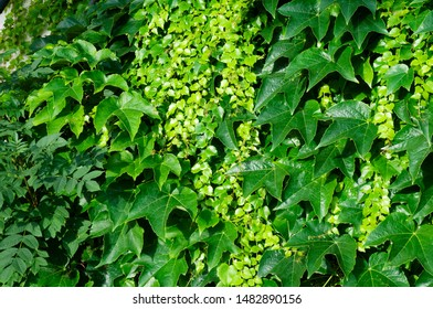 side view to a garden wall on sunny summer day overgrown with climbing vine plants