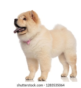 side view of gentleman chow chow looking up while standing on white background and panting