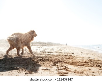 Side view of a golden retriever shaking off water on a golden sand beach after swimming in the sea during sunrise.