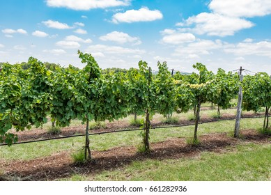 Side view of grape vines in vineyard on summer day