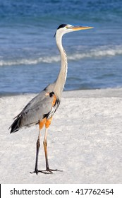 Side view of a great blue heron standing at the ocean.
