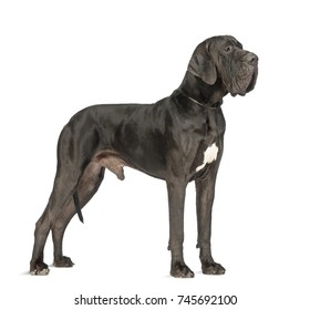 Side view of a Great Dane, 2 years old, in front of white background