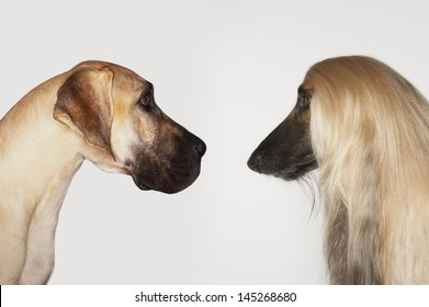 Side view of Great Dane and Afghan hound face to face against white background