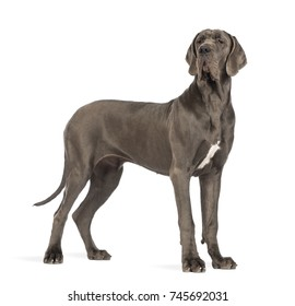 Side view of a Great Dane dog, 10 months old, looking away in front of white background