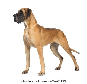 Side view of a Great Dane dog, 4 years old, in front of white background