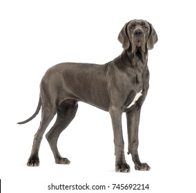 Side view of a Great Dane dog, 10 months old, looking at the camera in front of white background