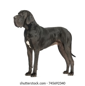 Side view of a Great Dane dog, 2 years old, in front of white background