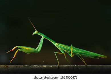 Side view of the green praying mantis, with longer legs and larger than other mantis.
