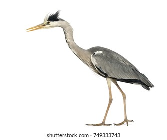 Side view of a Grey Heron walking, curious, Ardea Cinerea, 5 years old, isolated on white