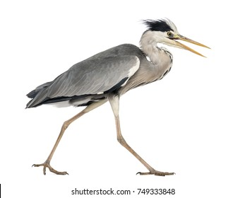 Side view of an Grey Heron walking, screaming, Ardea Cinerea, 5 years old, isolated on white