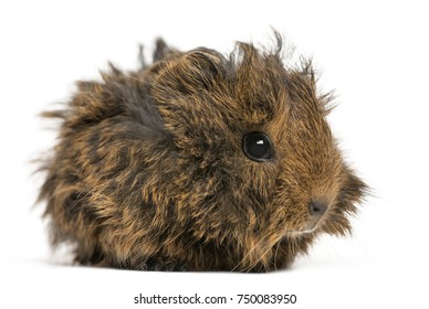 Side view of a Guinea Pig, isolated on white