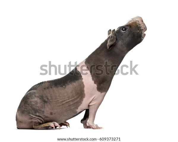 Side view of a hairless guinea pig stretching the head , isolated on white