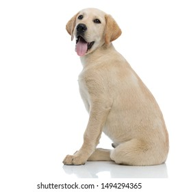 side view of a happy panting labrador retriever puppy dog sitting on white background