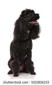 side view of a happy poodle looking up at something on white background