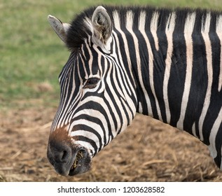 Side view of head of black and white striped plains zebra, photographed at Port Lympne Safari Park, Ashford Kent, UK.