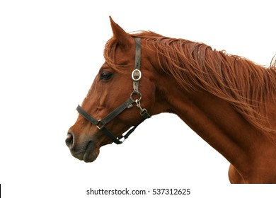 Side view head shot of a beautiful chestnut colored stallion