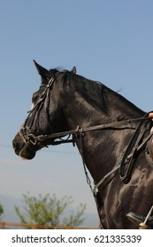 Side view head shot of a beautiful young black horse