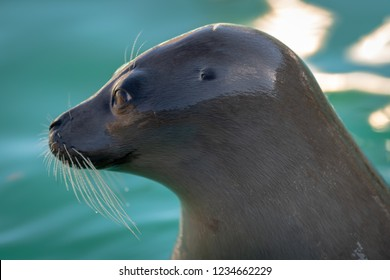 A side view, head shot, of a wild harp seal as it pokes its head up among floating docks in the Atlantic Ocean.  The earless seal has long whiskers and is earless.