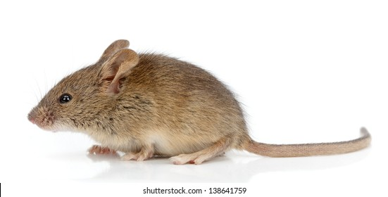 Side view of a house mouse (Mus musculus)