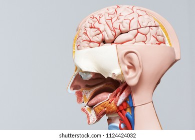 Side view of human head and neck model and section showing internal organ