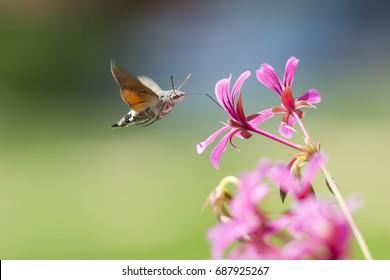 Side view of a hummingbird hawk-moth (Macroglossum stellatarum) feeding on a pink flower in a vibrant meadow
