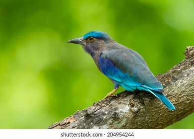 Side view of Indian roller(Coracias benghalensis)  in nature of Thailand