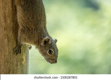 A side view of an Irrawaddy squirrel or hoary-bellied Himalayan squirrel (Callosciurus pygerythrus) upside down on the trunk of a tree.