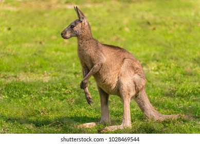 side view of a Kangaroo standing on its hind legs