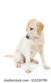 side view of a labrador retriever dog looking back to something isolated on white background