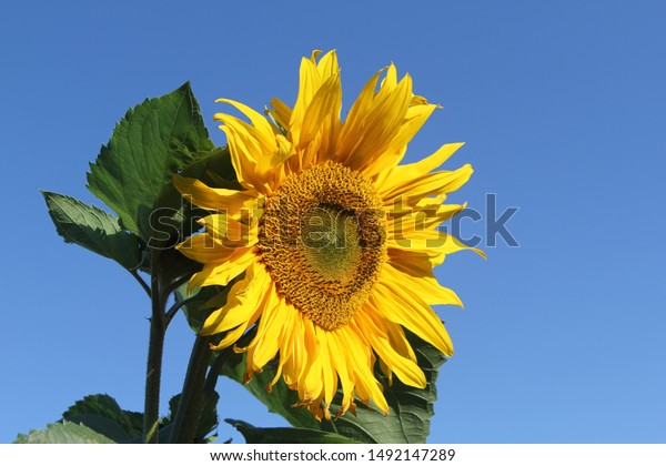 Side view of a large sunflower against a blue summer's sky